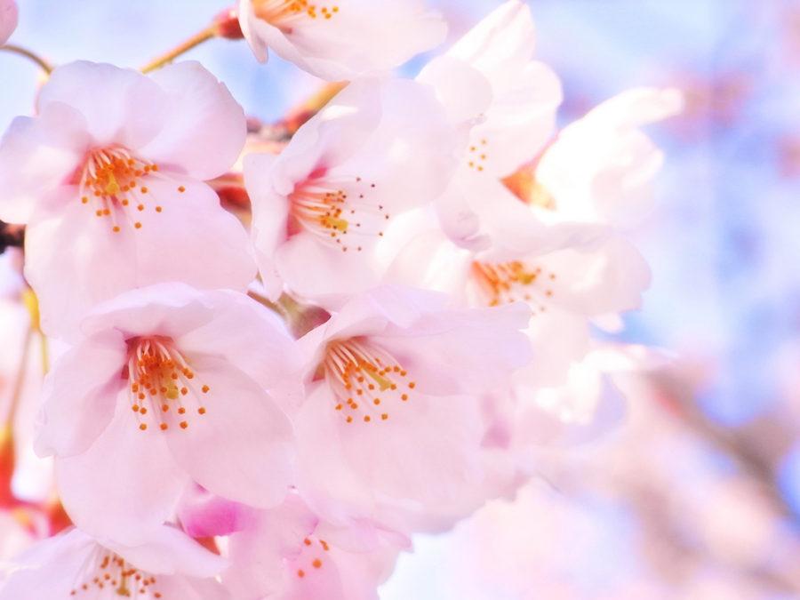 お花見&歓迎会